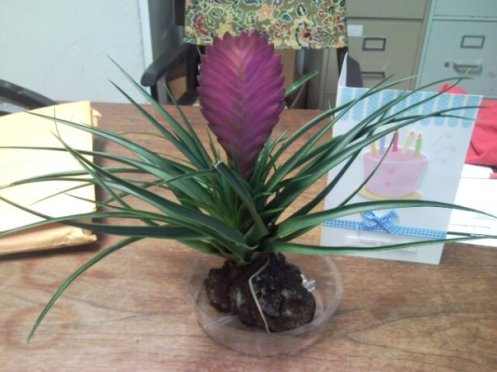 bday plant